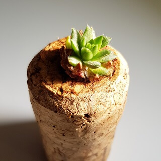 Succulent in a cork!